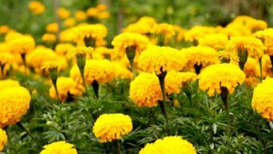 Photo of किसानों की आय बढ़ाने में सहायक हो रही है व्यावसायिक फूलों की खेती