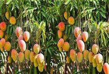 Photo of बागों में पकने योग्य फल की समय से तुड़वाई अवश्य कर ली जाये: डाॅ0 आर0 के0 तोमर