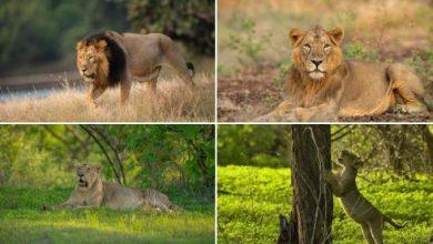 Photo of प्रधानमंत्री श्री नरेन्द्र मोदी ने विश्व शेर दिवस पर शेरों के संरक्षण के लिये जुनूनी सभी लोगों को बधाई दी
