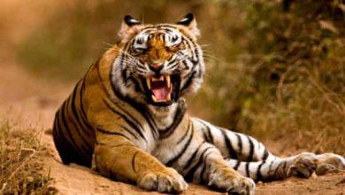 Photo of बाघों से ही वनों का अस्तित्व है, वन जीवन का आधार है
