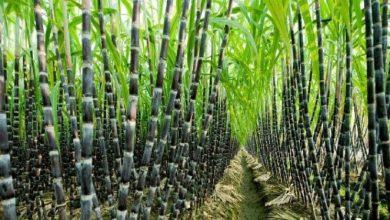 Photo of प्रदेश की 14 सहकारी चीनी मिलों के मिल फार्मों पर कराया जा रहा उन्नतशील गन्ना बीज का उत्पादन