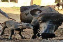 Photo of सरकार देश में पशुधन में सुधार लाने के लिये भैंसों के आईवीएफ को प्रोत्साहन दे रही है